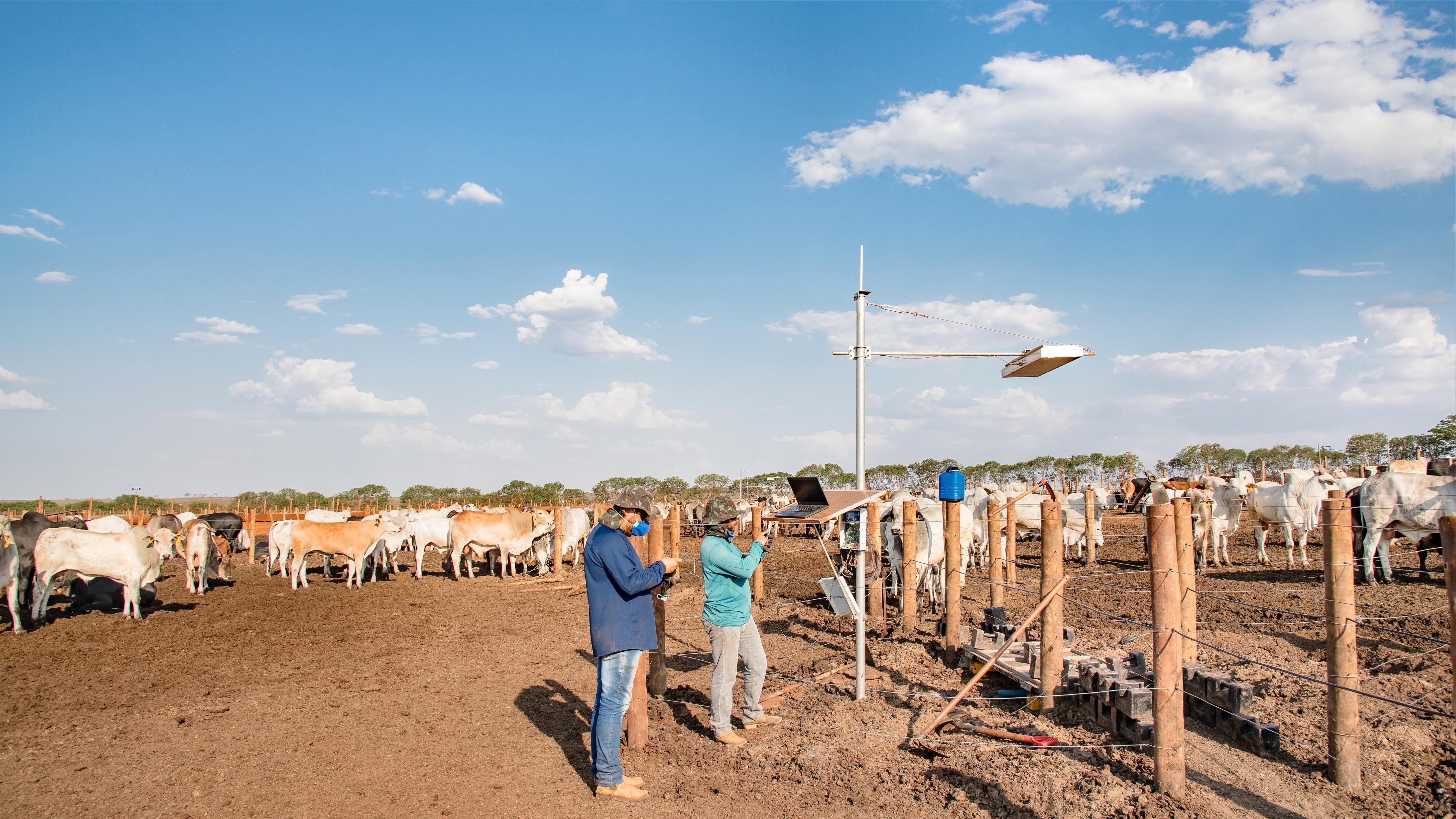 Brazilian cattle farm