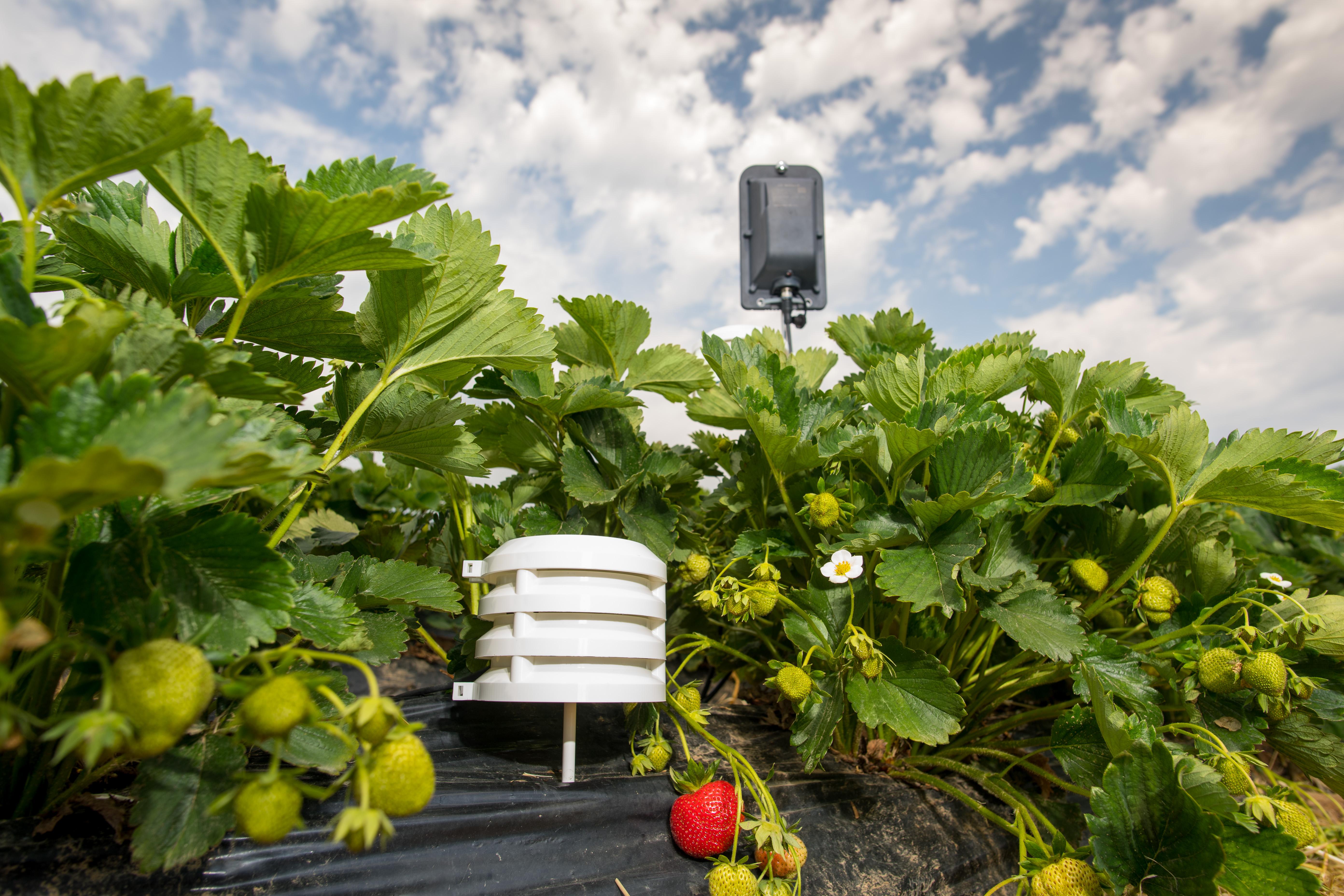 Temperatur- und Luftfeuchte-Sensoren zur Feldüberwachung in Erdbeeren