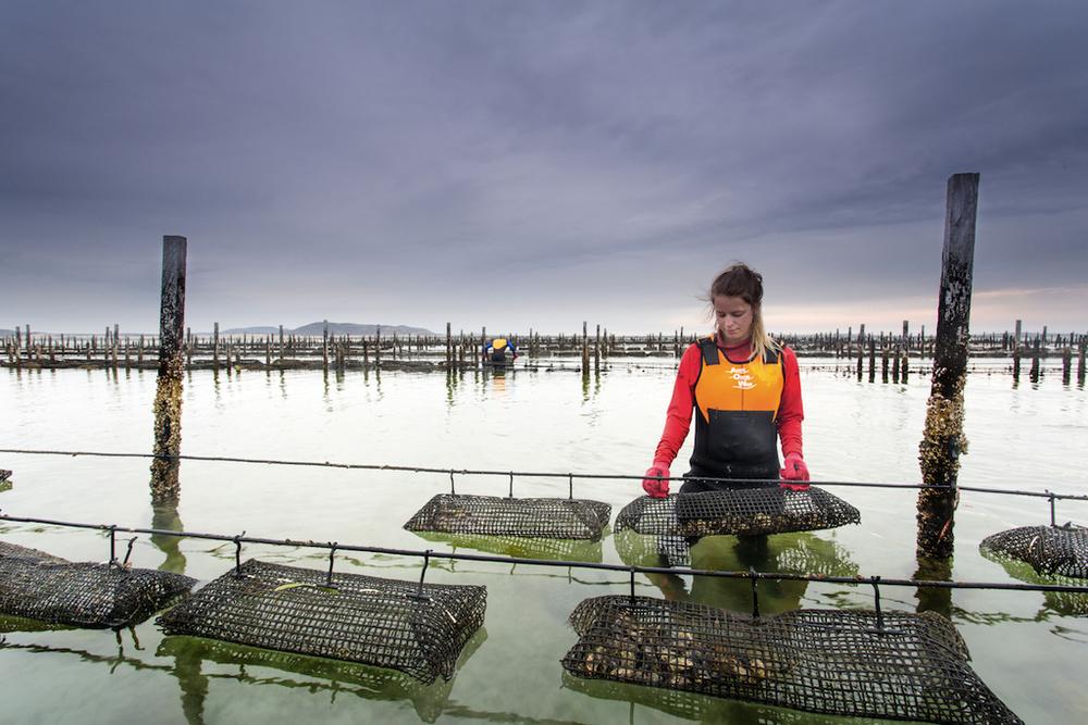 Austernbänke vor der tasmanischen Küste