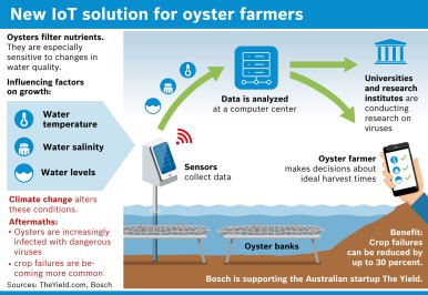 Info chart oyster growing